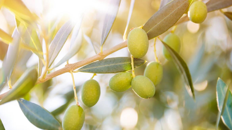 Coltiviamo con cura i nostri ulivi