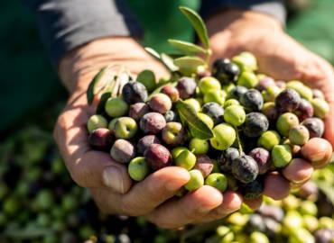 Raccogliamo manualmente le olive
